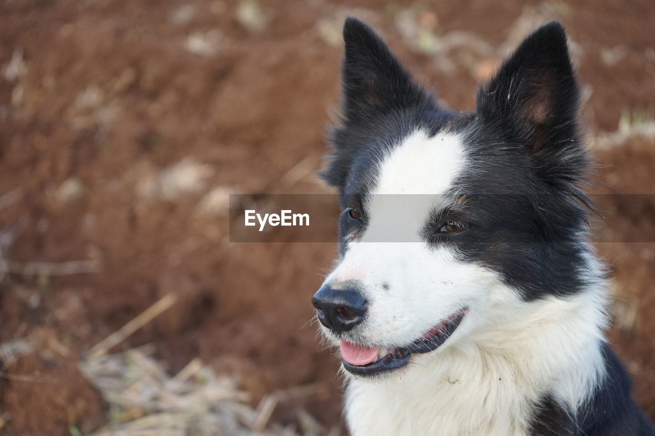 one animal, domestic, domestic animals, pets, mammal, dog, canine, animal themes, animal, vertebrate, focus on foreground, looking away, looking, close-up, day, no people, field, animal body part, land, animal head, border collie, mouth open