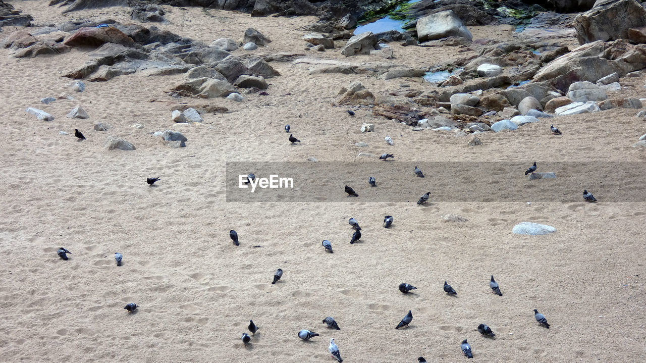 high angle view, sand, land, beach, large group of animals, nature, crowd, day, group of people, animal wildlife, group of animals, animal, animals in the wild, animal themes, bird, outdoors, large group of people, water, rock, vertebrate, marine