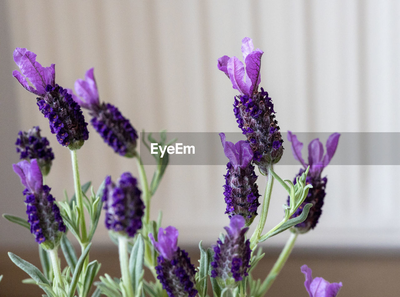 CLOSE-UP OF PURPLE FLOWERING PLANT AGAINST WALL
