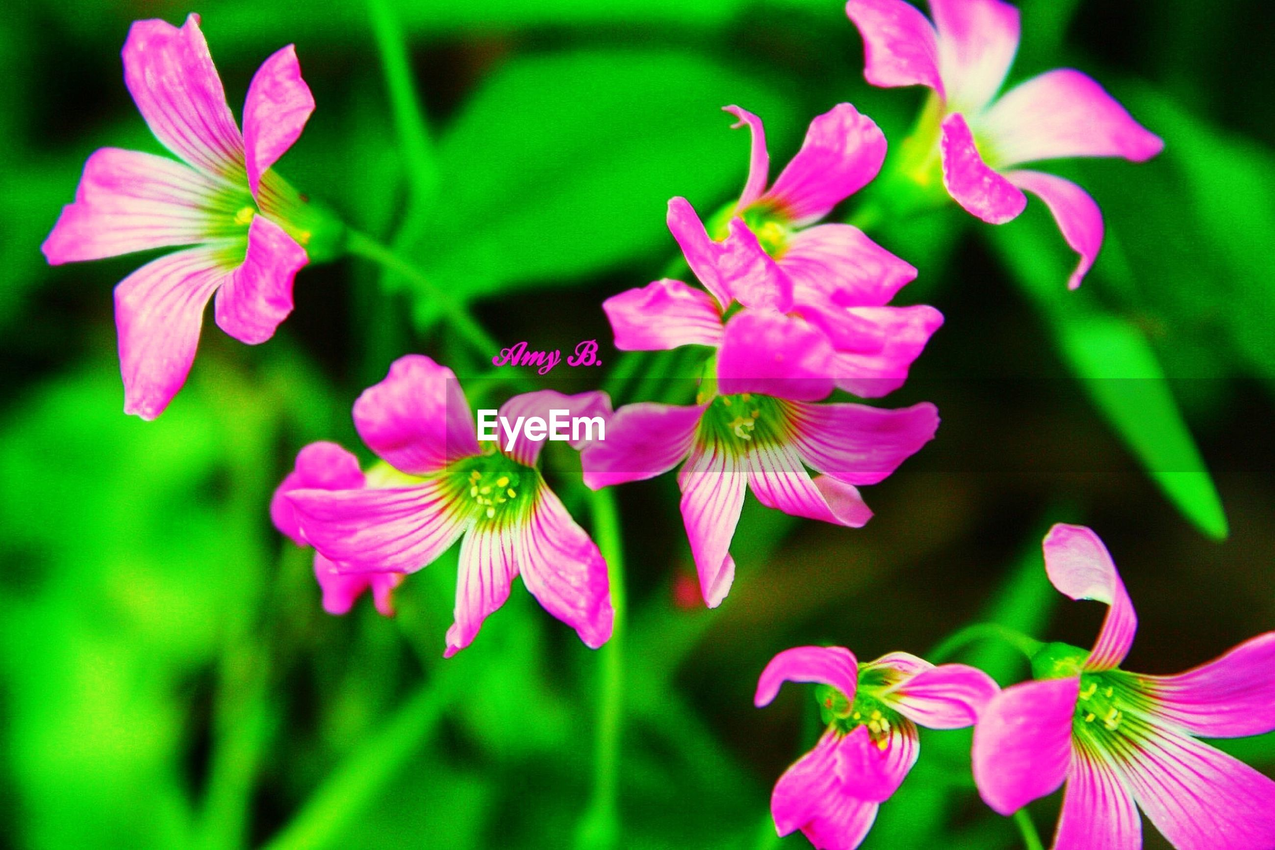 flower, freshness, petal, fragility, pink color, growth, beauty in nature, flower head, focus on foreground, close-up, nature, blooming, plant, in bloom, pink, blossom, park - man made space, day, stamen, outdoors