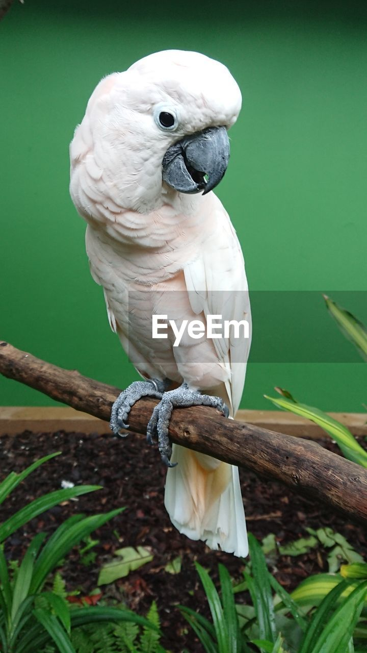 animal themes, bird, animal, vertebrate, one animal, animal wildlife, parrot, animals in the wild, perching, close-up, branch, plant, cockatoo, no people, focus on foreground, nature, day, tree, green color, outdoors, beak