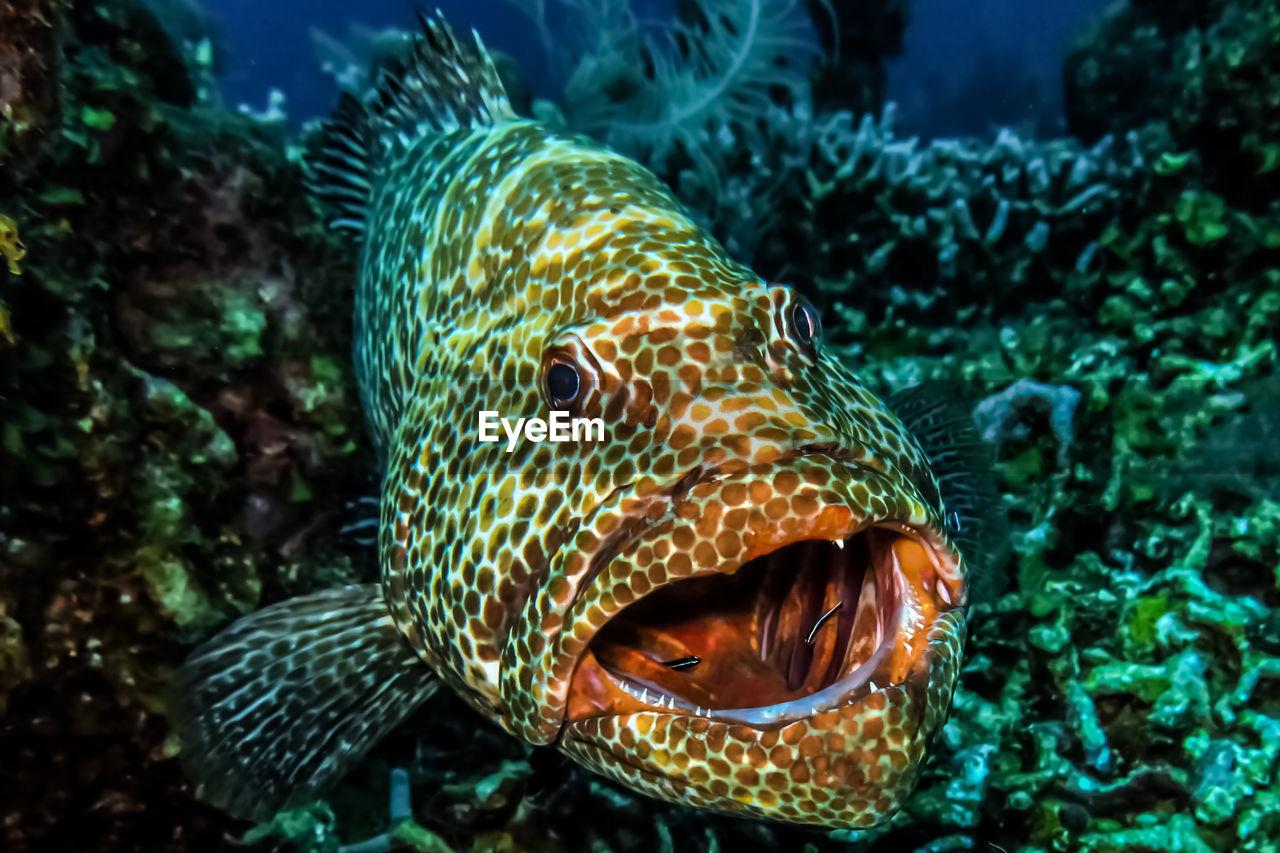 Close-Up Portrait Of Grouper Swimming In Sea