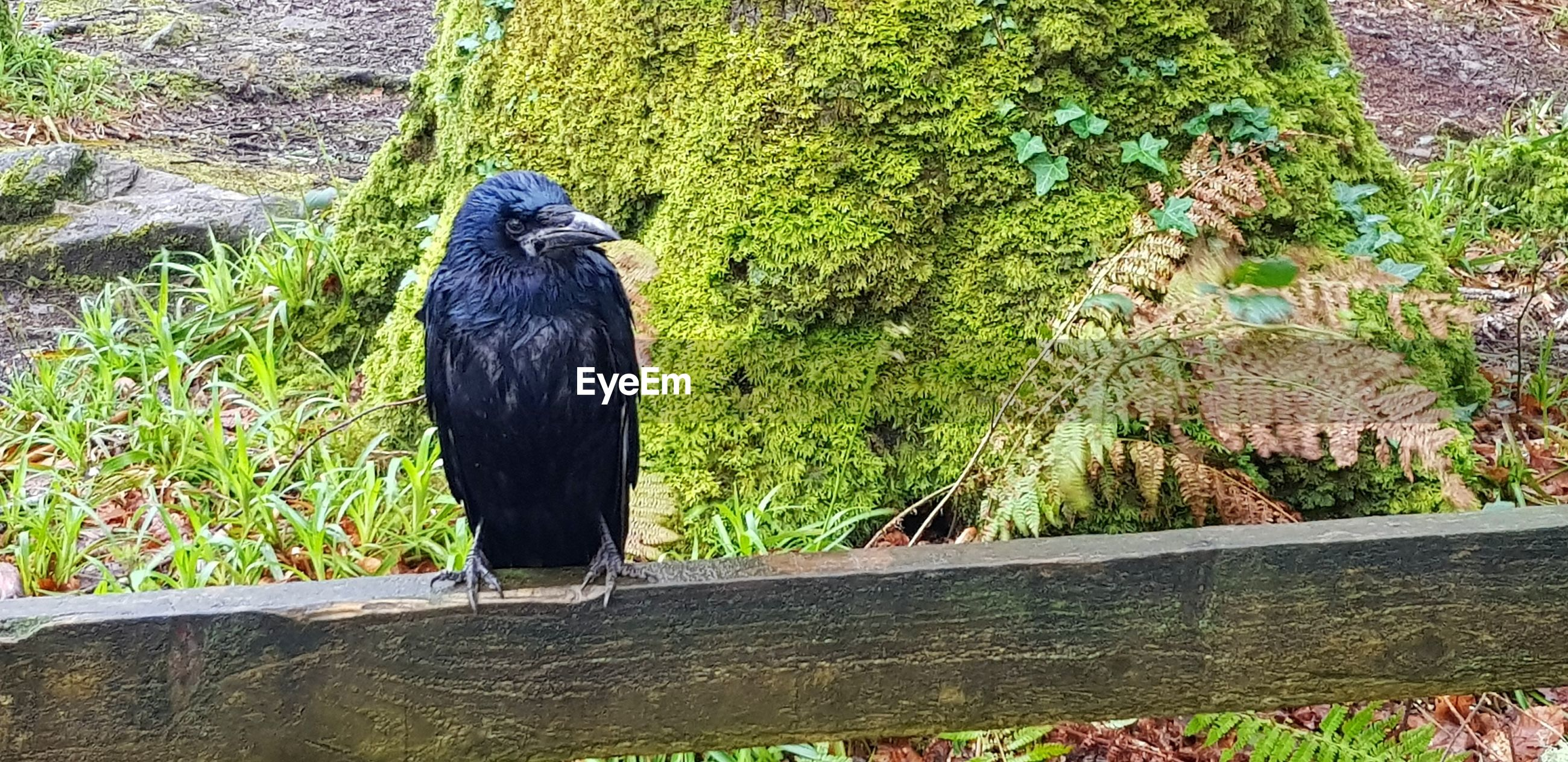 Close-up of crow perching on fence