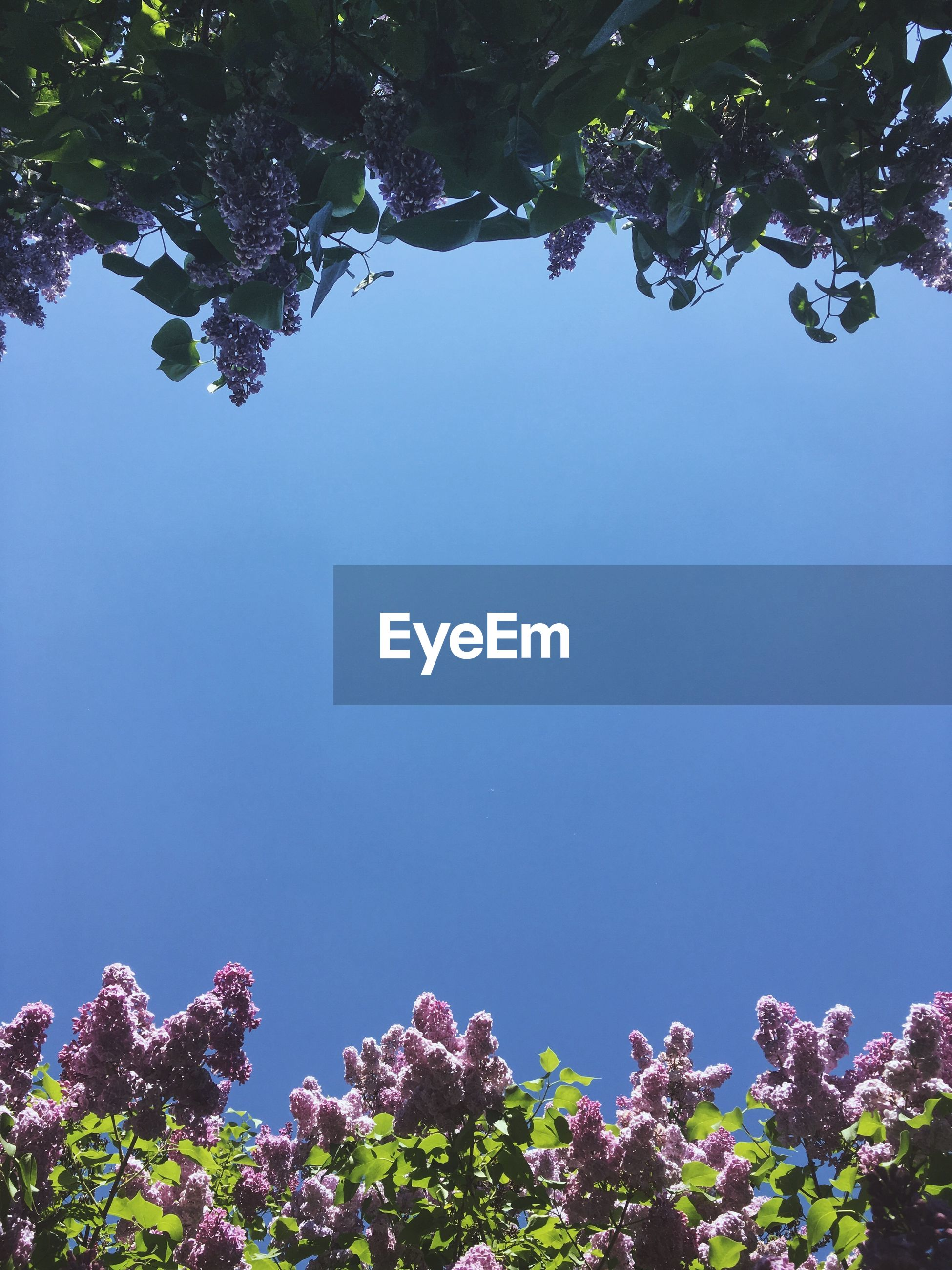 LOW ANGLE VIEW OF PINK FLOWERING TREE AGAINST BLUE SKY