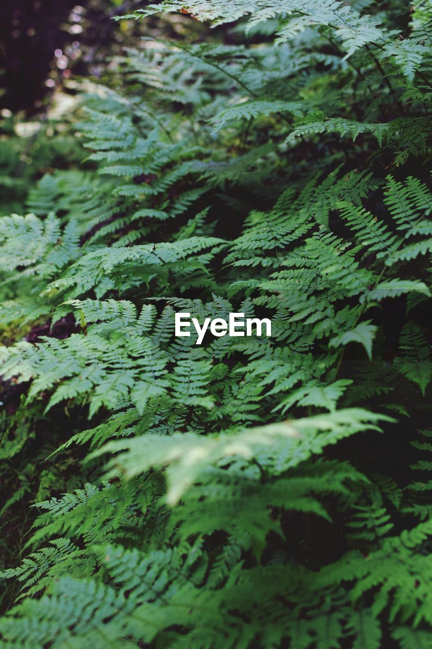 green color, plant, growth, no people, leaf, plant part, day, tree, nature, close-up, beauty in nature, selective focus, fern, full frame, tranquility, backgrounds, forest, land, outdoors, freshness, leaves, coniferous tree