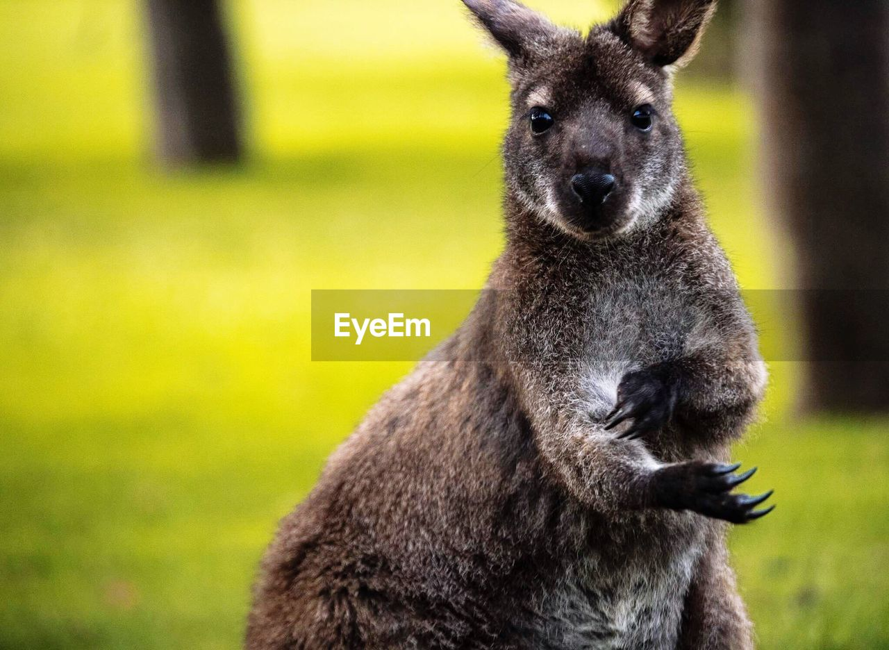 mammal, one animal, animals in the wild, animal wildlife, focus on foreground, vertebrate, no people, day, nature, close-up, kangaroo, field, land, portrait, young animal, plant, outdoors, herbivorous