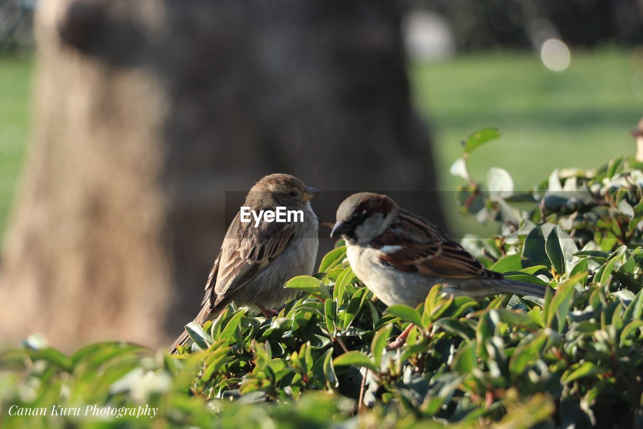 vertebrate, bird, animal, animal wildlife, animal themes, animals in the wild, group of animals, perching, plant, sparrow, selective focus, day, nature, leaf, plant part, two animals, no people, focus on foreground, green color, outdoors