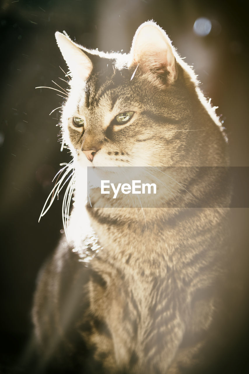 cat, domestic cat, domestic animals, feline, pets, domestic, animal themes, animal, mammal, one animal, vertebrate, no people, close-up, whisker, looking, looking away, indoors, animal body part, day, selective focus, animal head, animal eye