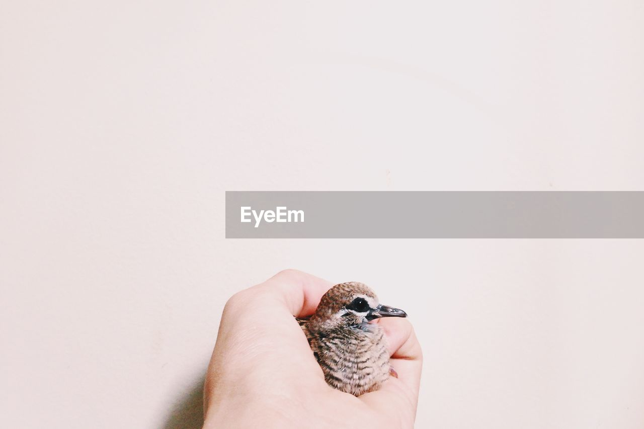 Close-Up Of Hand Holding Young Bird Over White Background