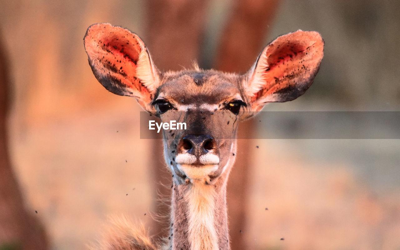 Close-Up Of Female Kudu
