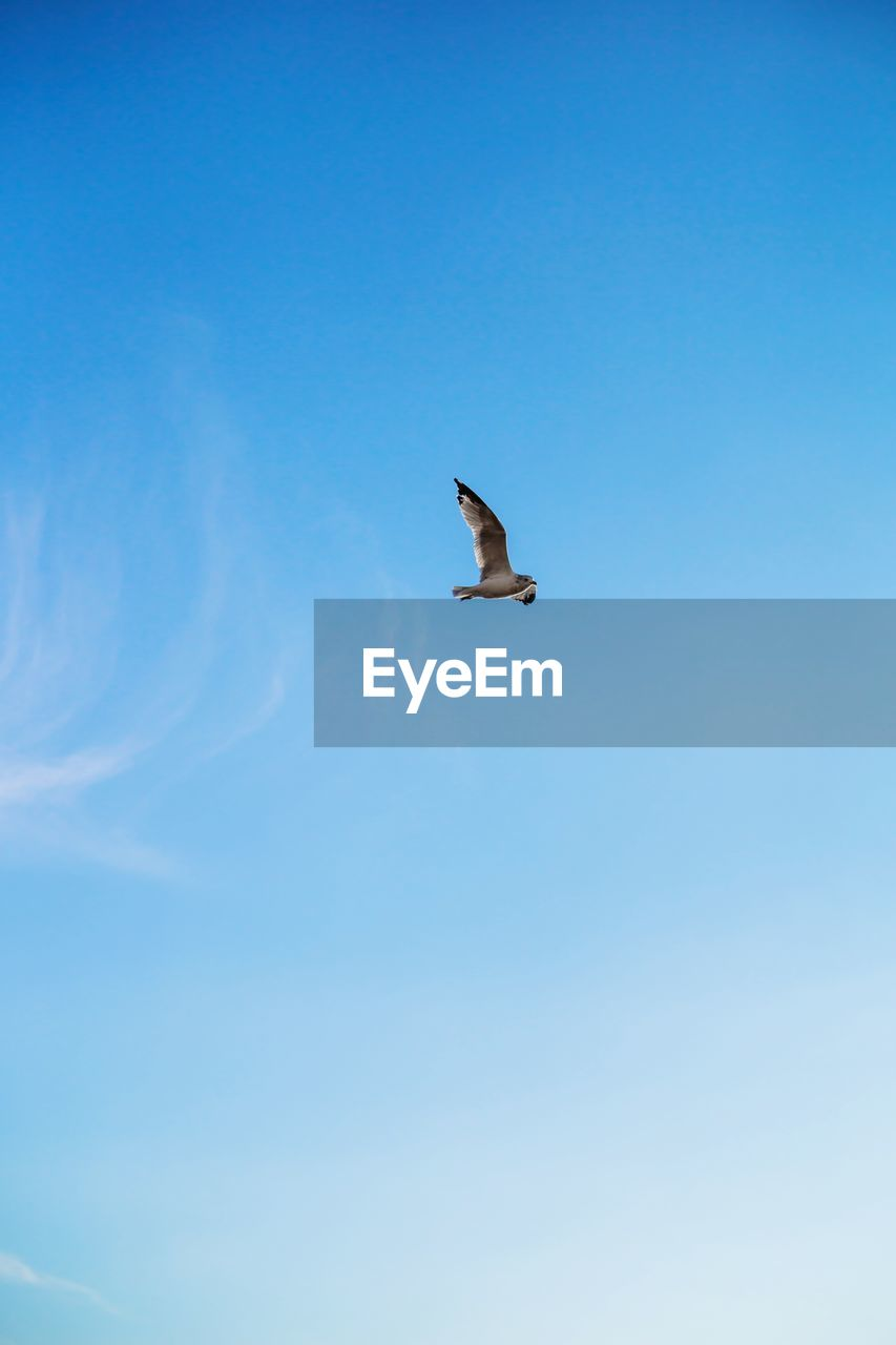 animal themes, vertebrate, animal wildlife, animal, bird, one animal, animals in the wild, sky, low angle view, flying, blue, spread wings, no people, day, mid-air, nature, beauty in nature, copy space, clear sky, outdoors, seagull