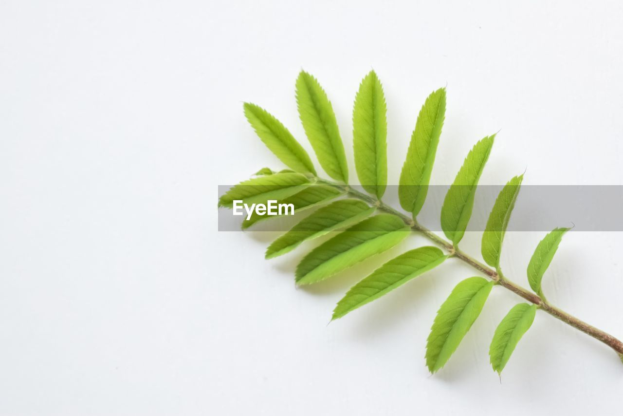 green color, white background, leaf, studio shot, plant part, close-up, indoors, plant, freshness, food and drink, no people, food, still life, nature, copy space, wellbeing, herb, beauty in nature, growth, high angle view, leaves