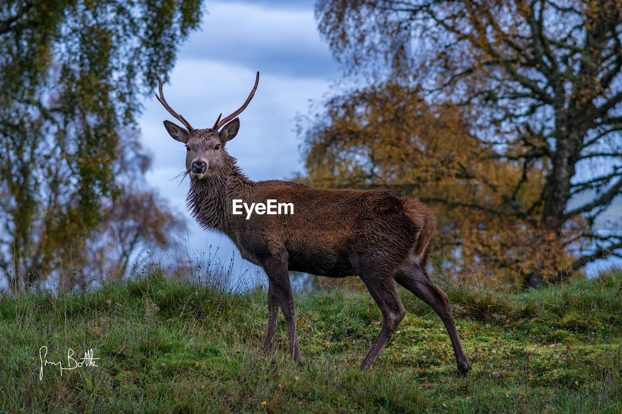 one animal, animals in the wild, deer, animal wildlife, animal themes, nature, antler, mammal, outdoors, tree, day, stag, field, grass, no people, forest, low angle view, standing, beauty in nature, sky