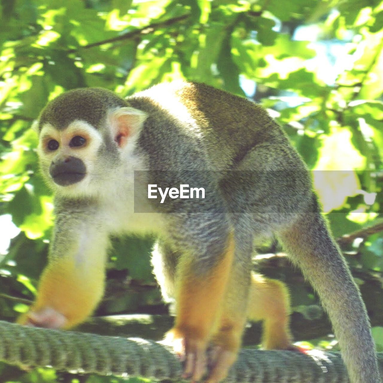 one animal, animal themes, mammal, tree, animals in the wild, day, no people, nature, outdoors, full length, lemur, branch, close-up, monkey