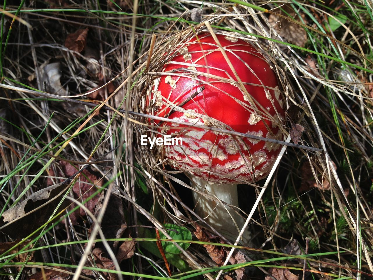 red, day, high angle view, field, outdoors, nature, mushroom, growth, no people, close-up, fungus, grass, fly agaric mushroom, food