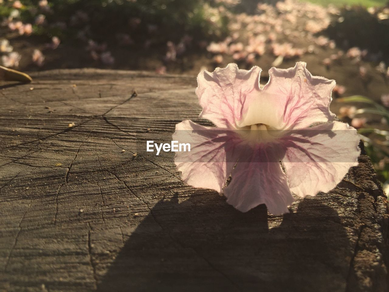 flower, petal, fragility, nature, flower head, beauty in nature, sunlight, close-up, growth, outdoors, no people, day, freshness, hibiscus