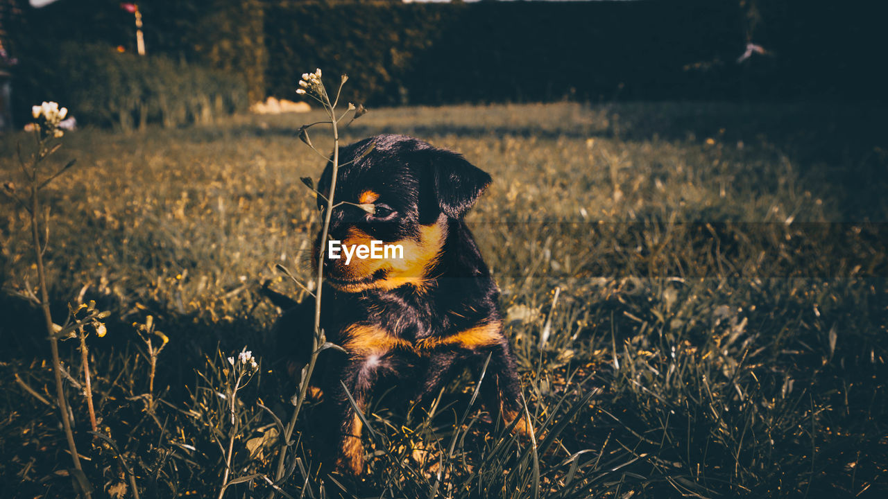 one animal, mammal, animal themes, animal, field, pets, plant, vertebrate, domestic animals, domestic, land, nature, grass, canine, dog, no people, looking away, growth, looking, focus on foreground