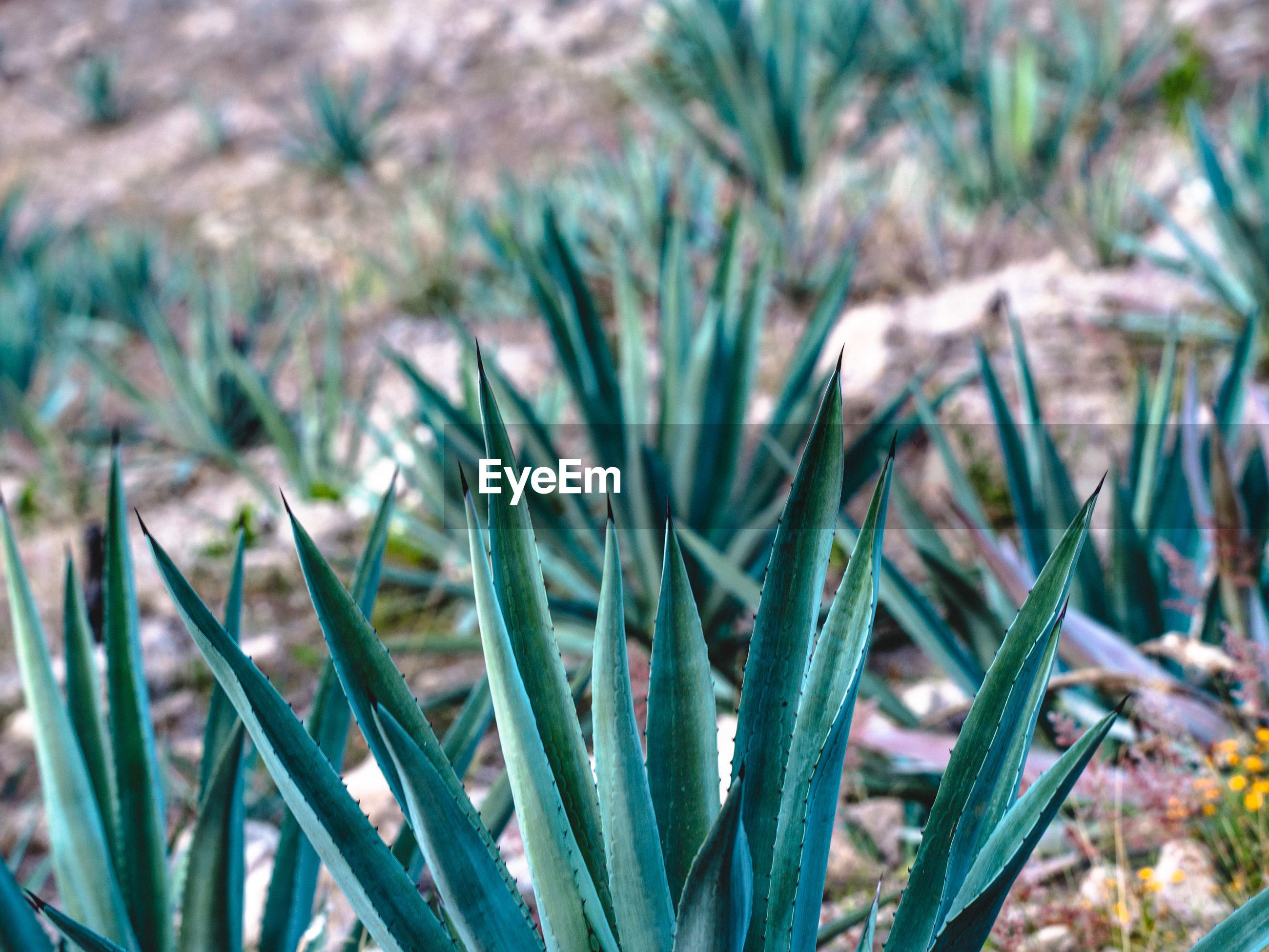 Cactuses growing on field