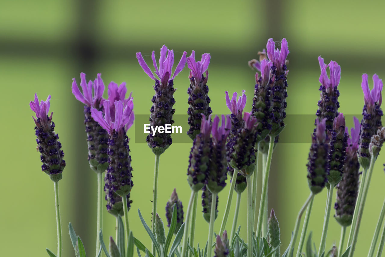 flower, flowering plant, vulnerability, plant, fragility, beauty in nature, freshness, growth, purple, close-up, petal, flower head, nature, no people, focus on foreground, lavender, plant stem, inflorescence, day, green color, outdoors, pollination