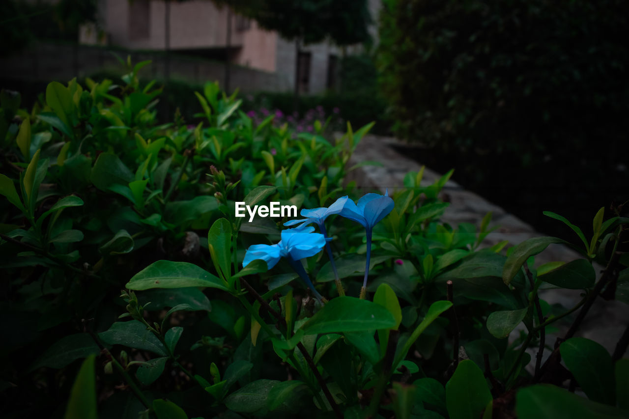 green color, blue, leaf, plant, growth, no people, outdoors, day, flower, fragility, nature, close-up