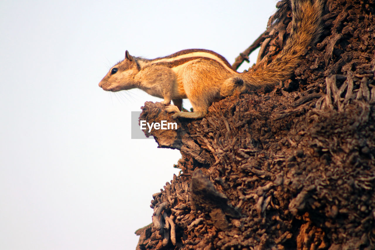 animal themes, animal, mammal, one animal, animal wildlife, no people, animals in the wild, vertebrate, tree, clear sky, nature, tree trunk, day, squirrel, trunk, side view, feline, rodent, domestic animals, sky