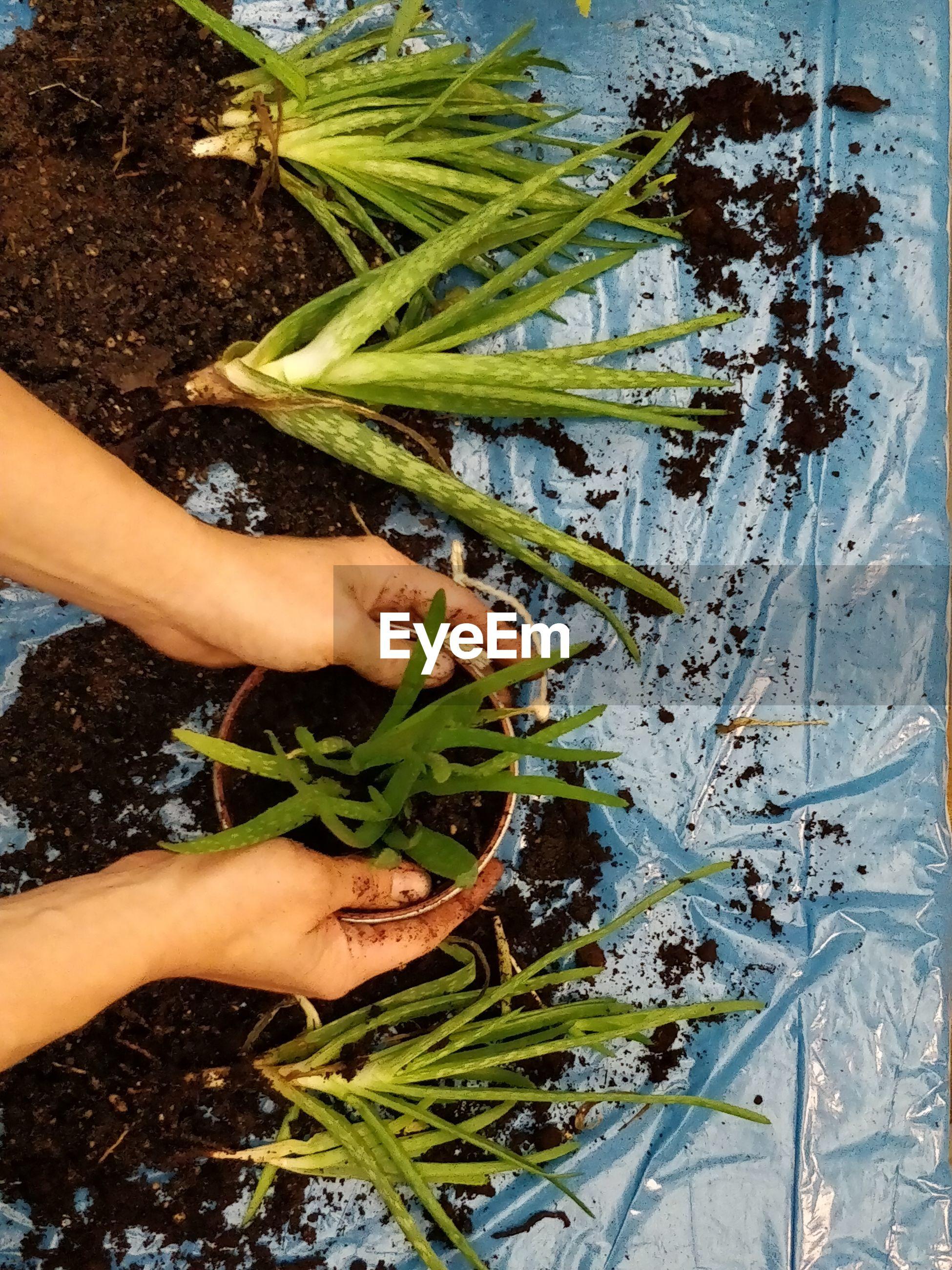 Cropped hands planting aloe vera