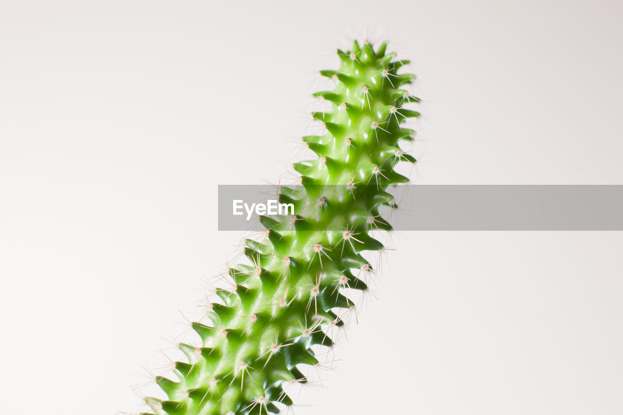 green color, no people, plant, growth, succulent plant, studio shot, nature, cactus, copy space, thorn, beauty in nature, close-up, sharp, spiked, white background, leaf, plant part, natural pattern, outdoors, spiky, arid climate