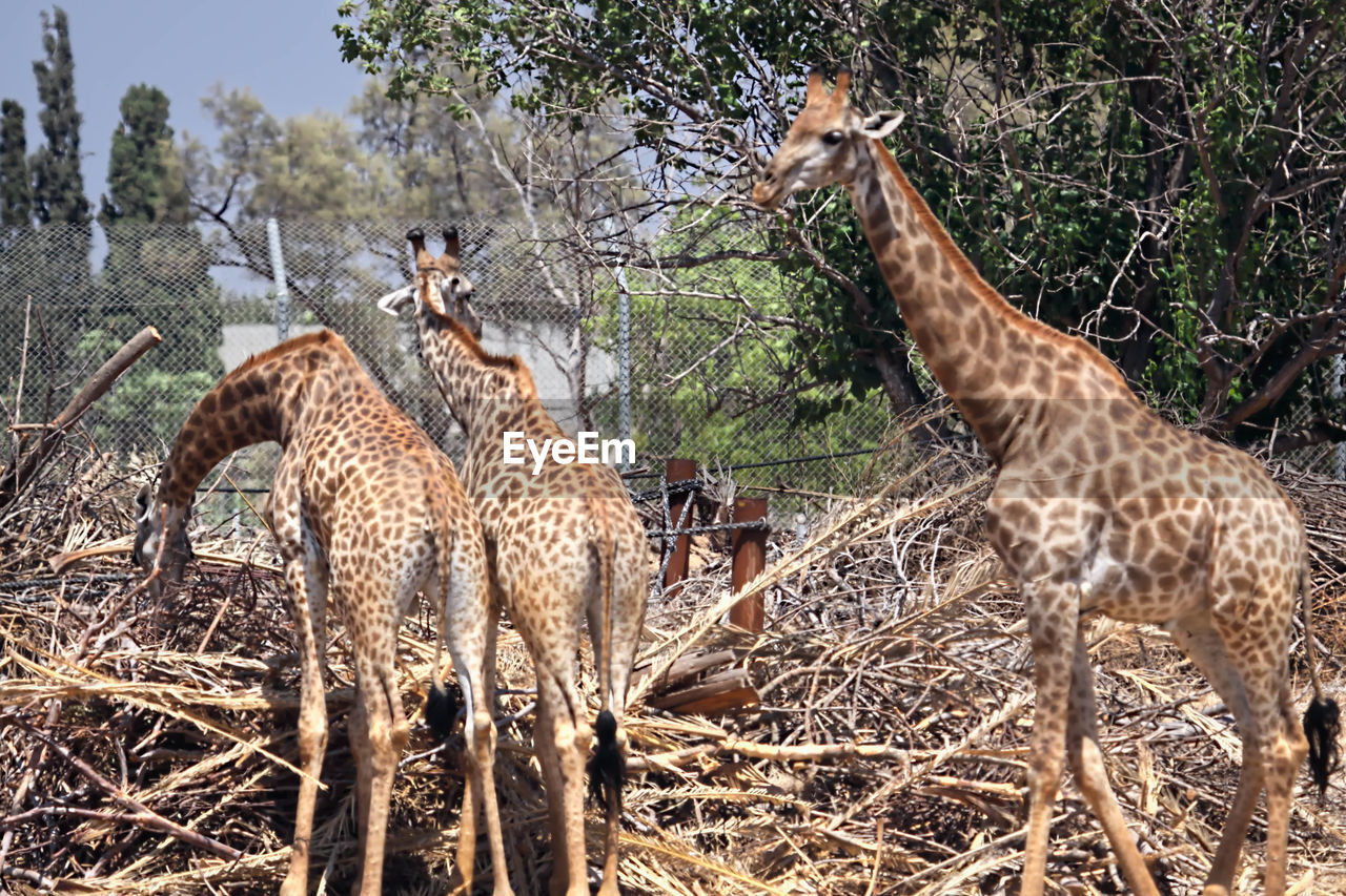 group of animals, animal wildlife, animal, animals in the wild, mammal, animal themes, vertebrate, tree, land, giraffe, nature, field, plant, day, domestic animals, no people, herbivorous, forest, standing, three animals, animal family