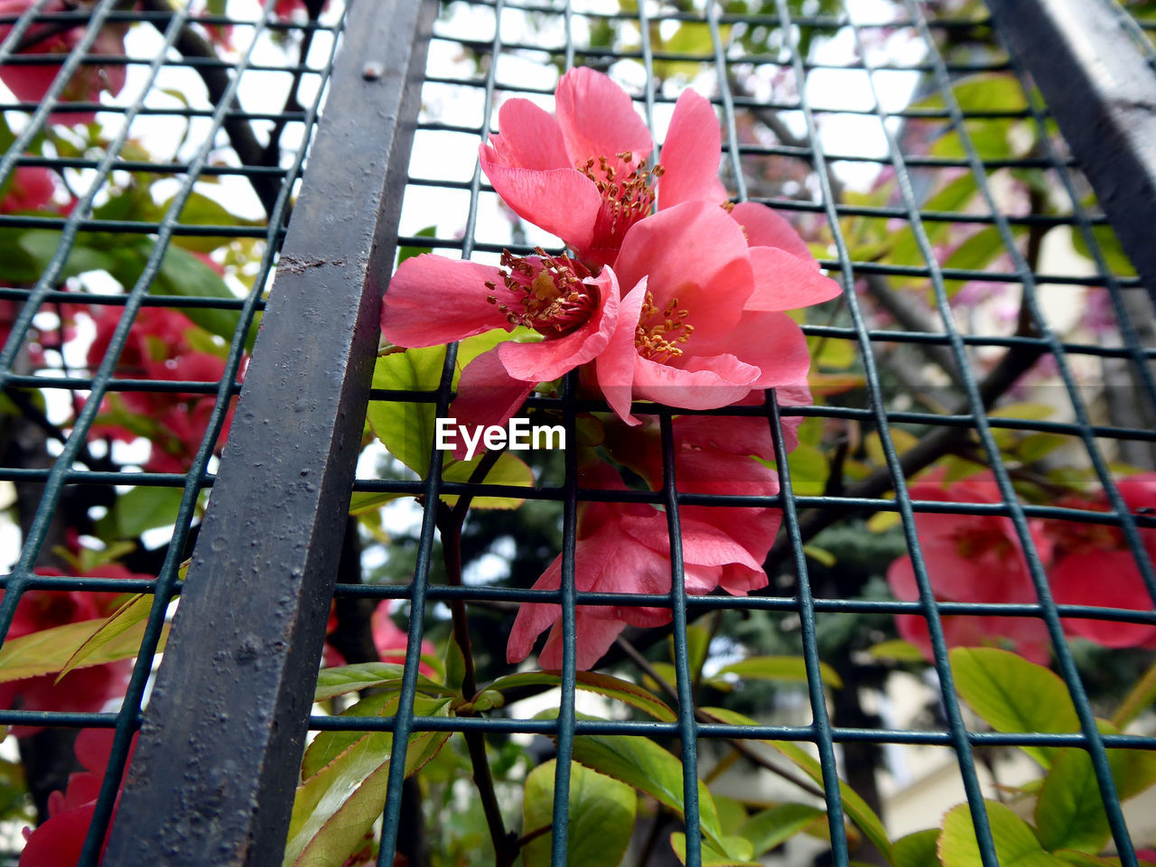 plant, flower, flowering plant, close-up, growth, freshness, beauty in nature, pink color, fragility, vulnerability, focus on foreground, no people, fence, day, barrier, petal, boundary, nature, inflorescence, outdoors, flower head, springtime