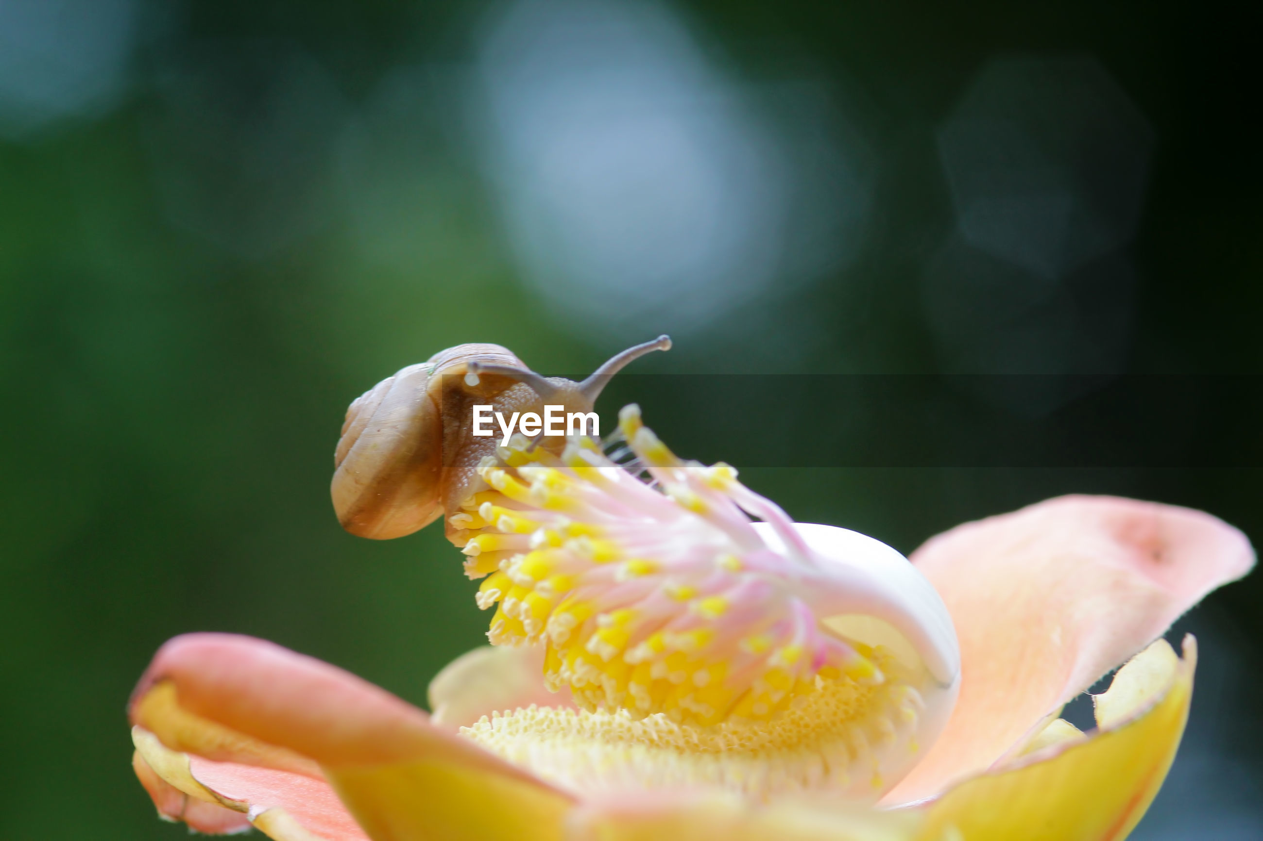 CLOSE-UP OF HONEY BEE ON YELLOW FLOWERING PLANT