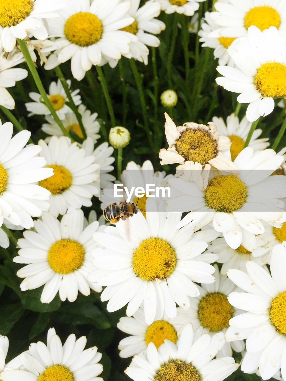 flower, petal, white color, nature, fragility, beauty in nature, flower head, freshness, pollen, growth, insect, yellow, blooming, plant, animal themes, bee, no people, day, springtime, outdoors, animals in the wild, close-up