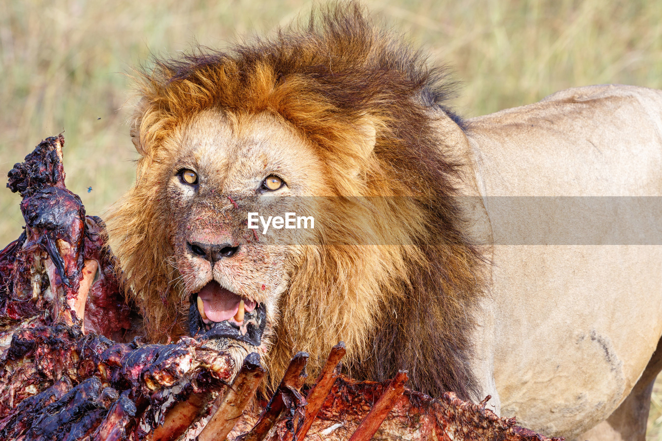 Hungry male lion watching his kill