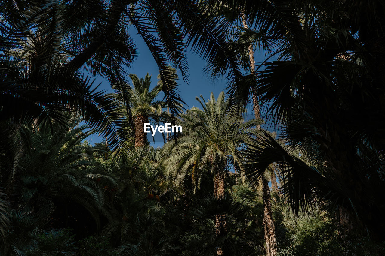 plant, tree, growth, palm tree, tropical climate, tranquility, no people, nature, beauty in nature, sky, tranquil scene, day, outdoors, scenics - nature, low angle view, palm leaf, tropical tree, non-urban scene, land, leaf, coconut palm tree