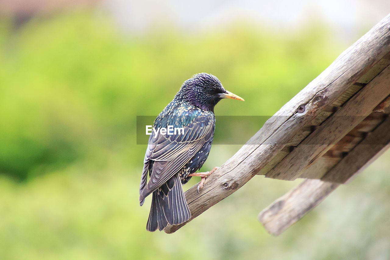animals in the wild, one animal, animal wildlife, animal themes, animal, vertebrate, bird, perching, focus on foreground, wood - material, day, no people, close-up, nature, outdoors, tree, branch, selective focus, zoology, green color