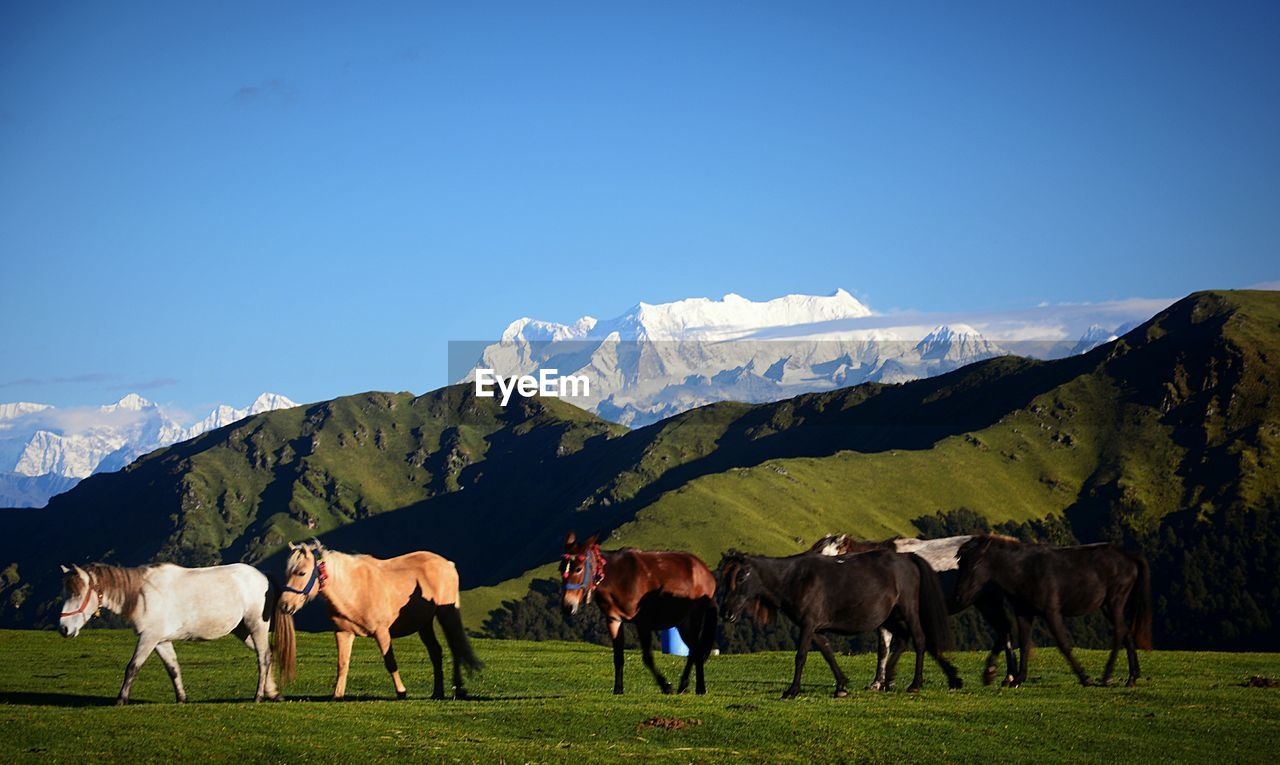 livestock, mammal, domestic animals, animal themes, domestic, animal, pets, mountain, group of animals, sky, vertebrate, landscape, field, nature, mountain range, grass, environment, beauty in nature, animal wildlife, winter, no people, herbivorous, outdoors, snowcapped mountain