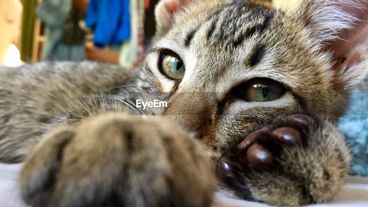 mammal, animal themes, animal, pets, cat, one animal, domestic animals, domestic, domestic cat, feline, looking at camera, close-up, portrait, vertebrate, animal body part, whisker, animal head, relaxation, indoors, no people, animal eye, snout