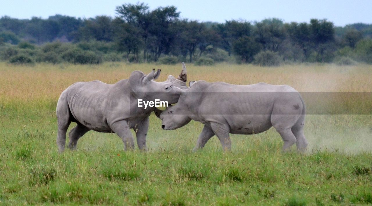 grass, animal themes, nature, field, tree, animals in the wild, mammal, no people, outdoors, day, young animal, rhinoceros, sky