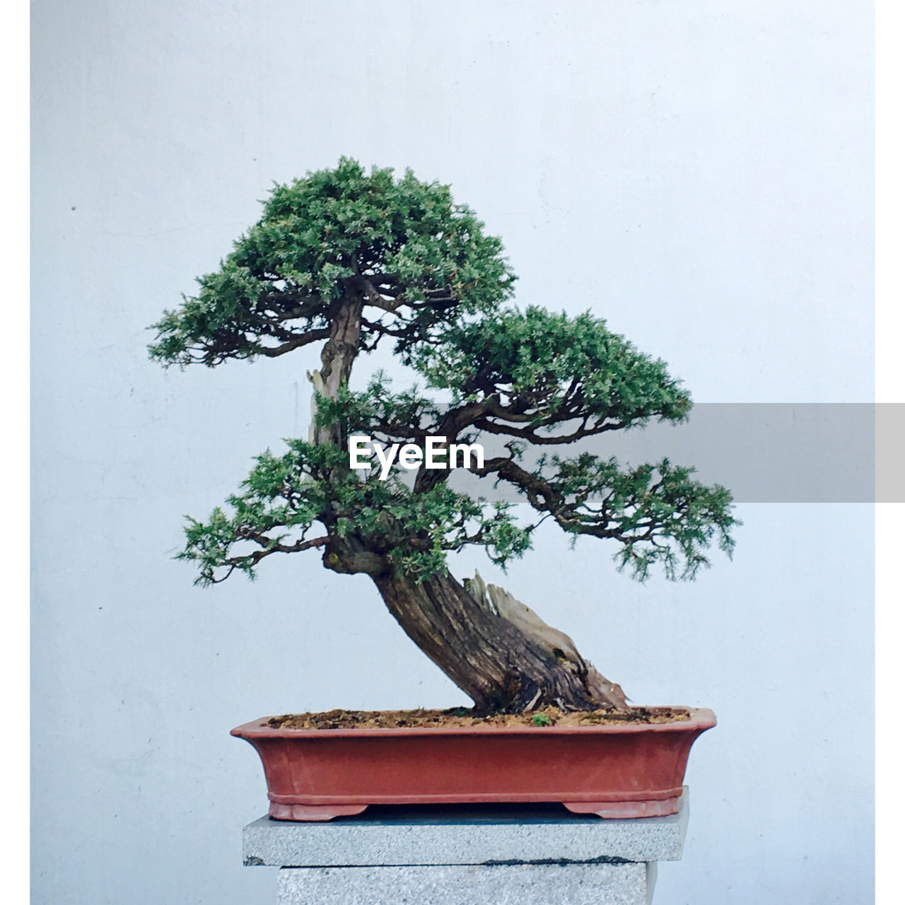 growth, bonsai tree, no people, nature, plant, tree, white background, day, outdoors, close-up