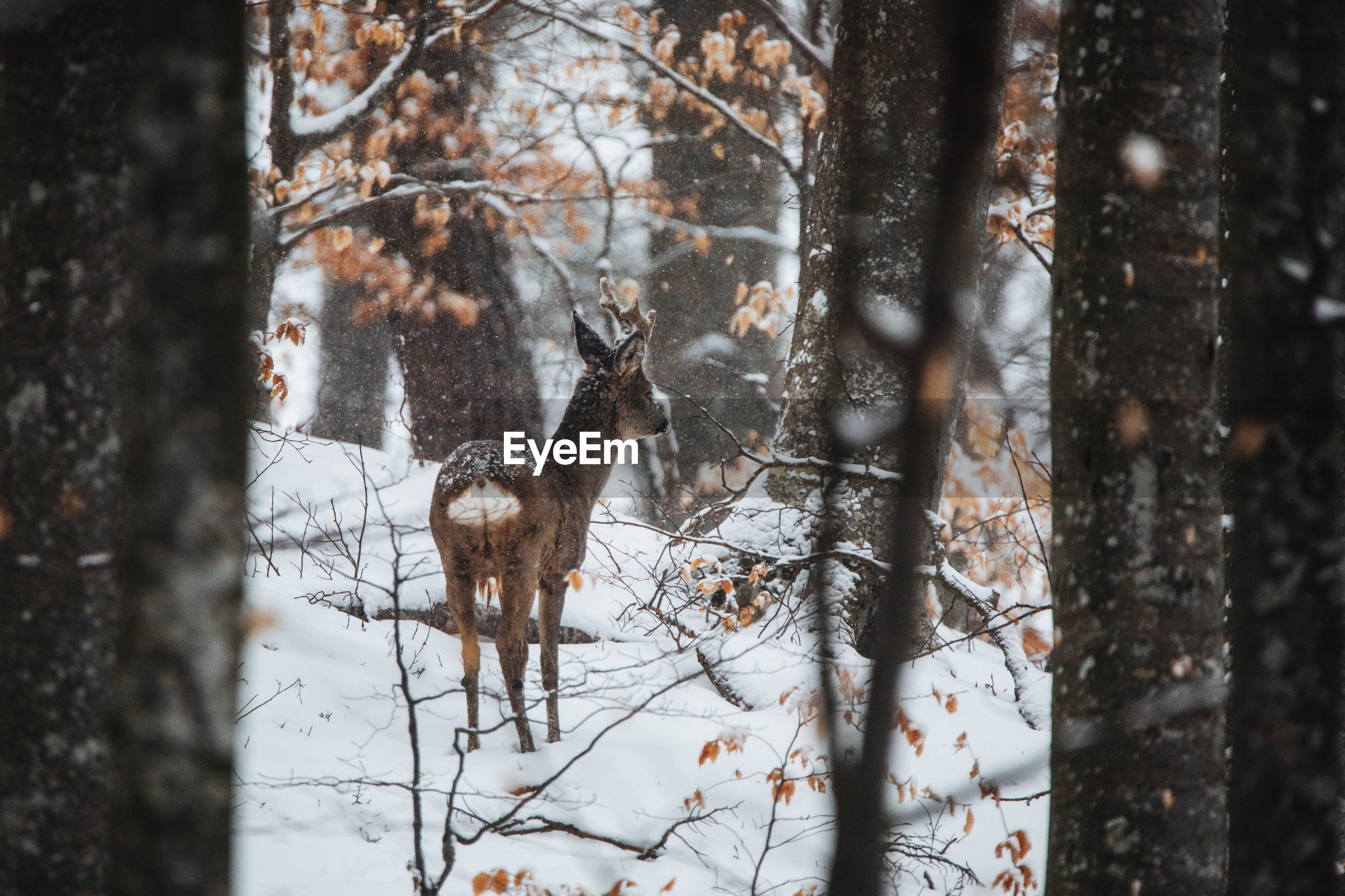 VIEW OF DEER ON SNOW COVERED TREES