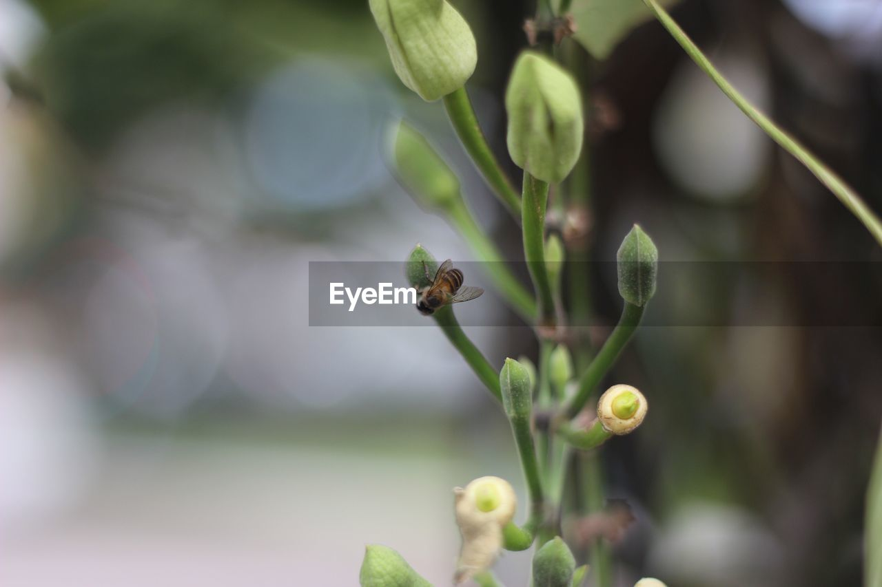 Close-Up Of Bee On Bud