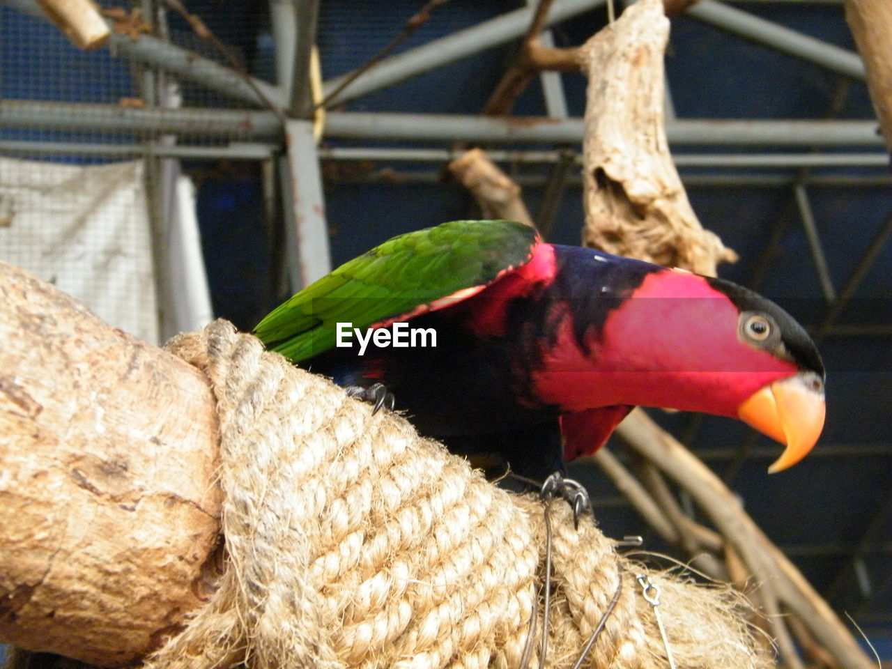 animal themes, bird, animals in the wild, animal wildlife, no people, perching, close-up, focus on foreground, one animal, day, parrot, outdoors, nature, rainbow lorikeet