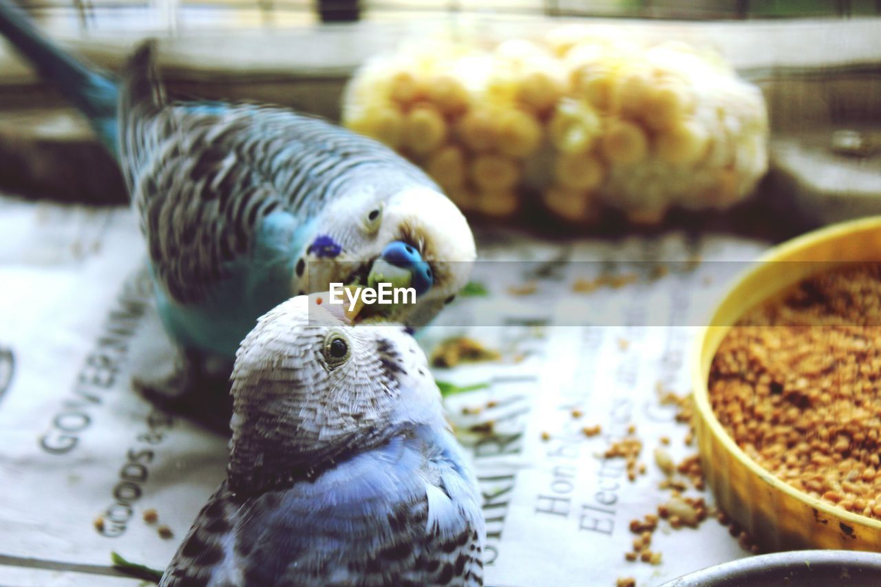 bird, animal themes, no people, indoors, close-up, food and drink, food, animals in the wild, day, parrot, nature