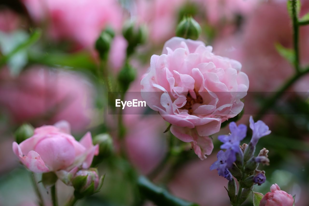 flower, petal, beauty in nature, nature, fragility, pink color, no people, flower head, growth, freshness, day, rose - flower, close-up, focus on foreground, outdoors, plant, blooming