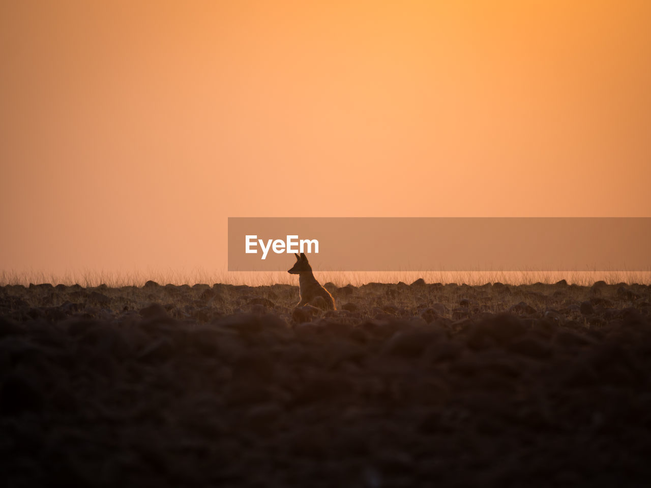 Silhouette of jackal on field against clear sky during sunset