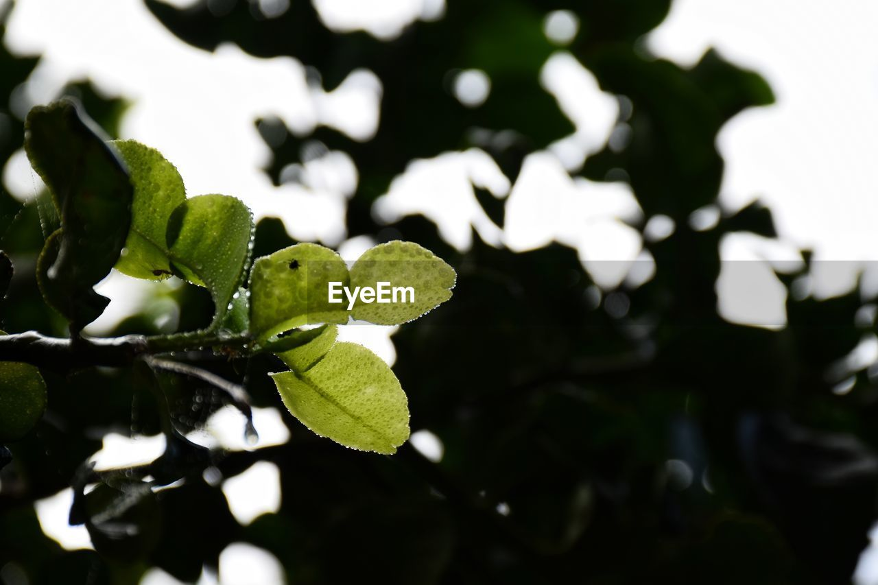 leaf, plant part, plant, growth, green color, close-up, no people, focus on foreground, nature, day, beauty in nature, selective focus, freshness, outdoors, tranquility, sunlight, leaves, tree, beginnings, high angle view, clover