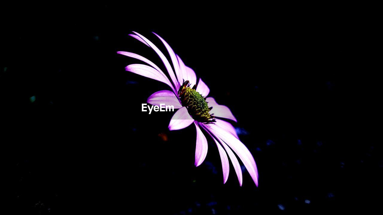 vulnerability, fragility, beauty in nature, petal, freshness, close-up, flowering plant, purple, flower, plant, flower head, inflorescence, growth, nature, no people, pollen, copy space, studio shot, night, black background