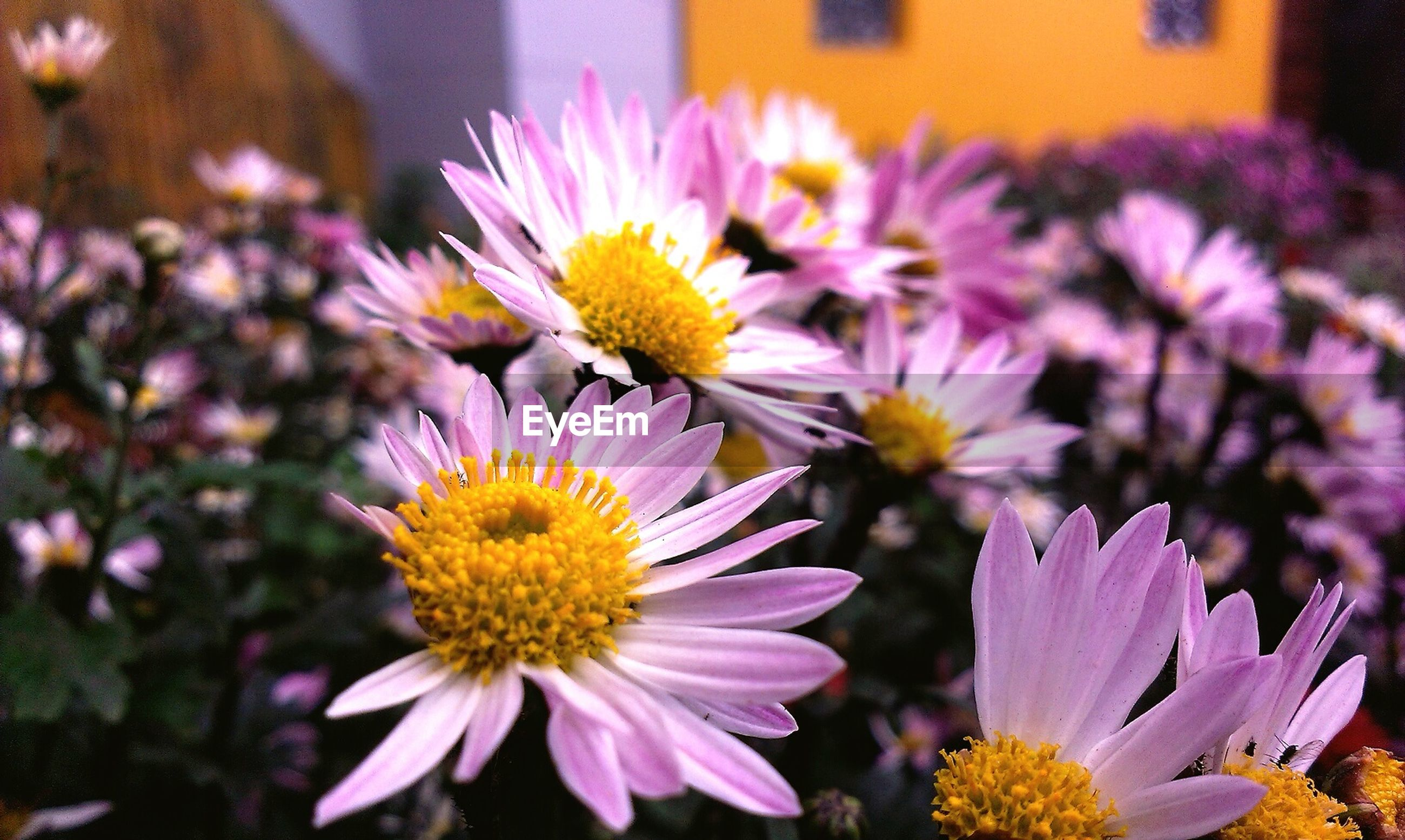 flower, petal, freshness, flower head, fragility, yellow, beauty in nature, pollen, close-up, blooming, growth, focus on foreground, purple, nature, plant, in bloom, day, no people, high angle view, outdoors