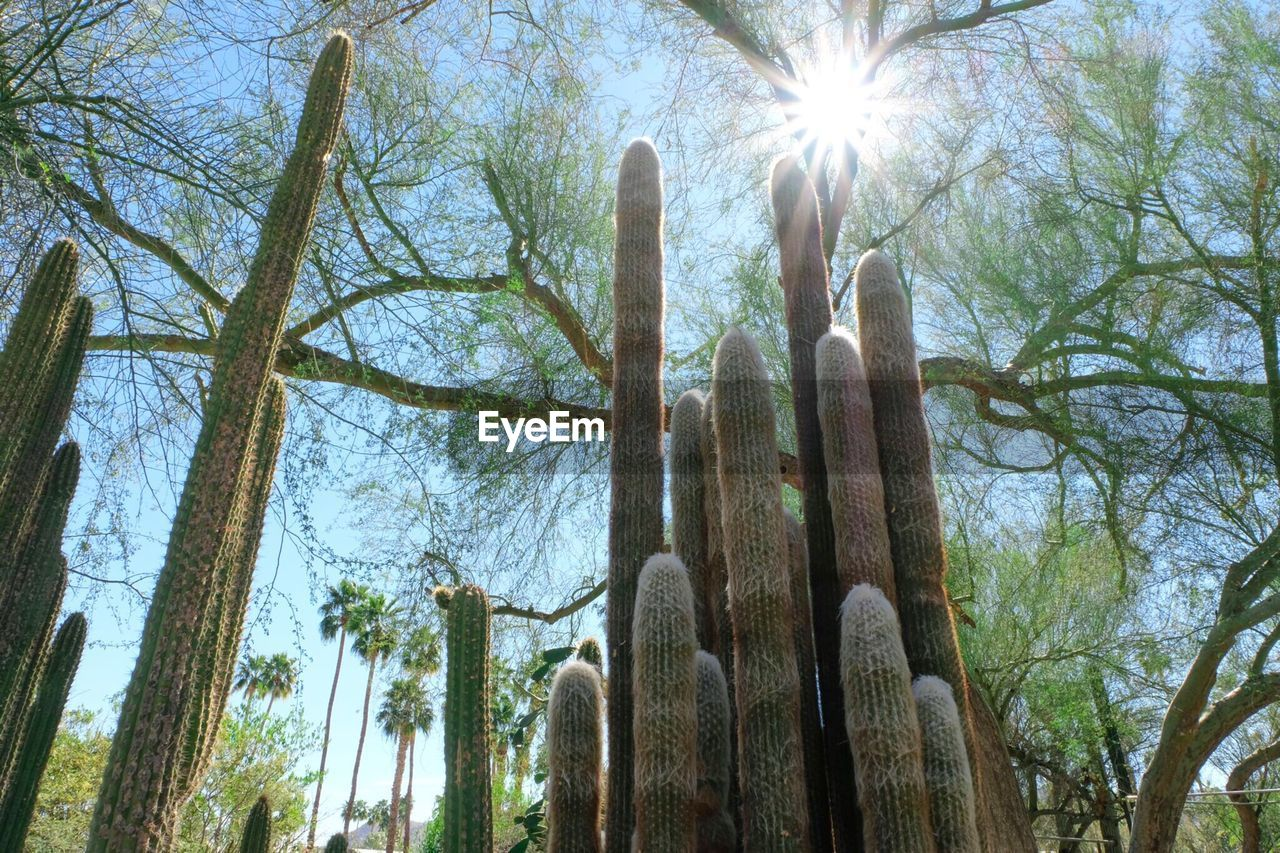 growth, nature, low angle view, cactus, sunbeam, sun, saguaro cactus, no people, sunlight, day, tree, plant, outdoors, beauty in nature, sky
