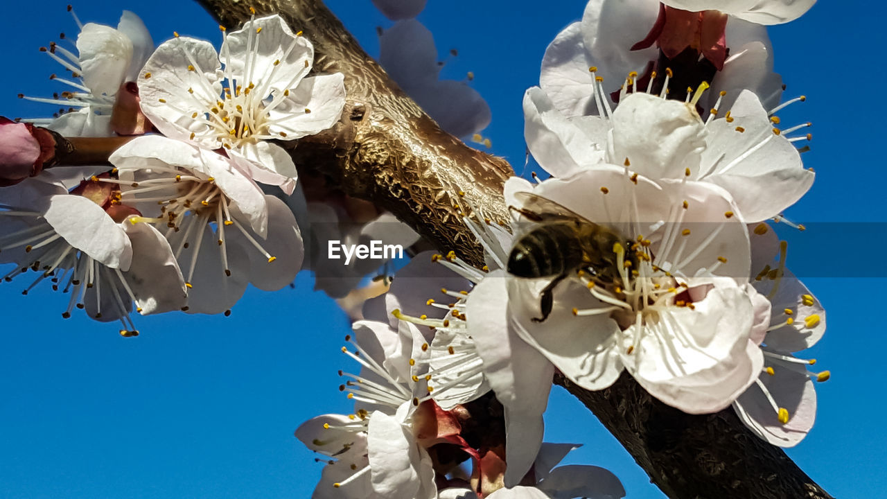 flowering plant, flower, fragility, vulnerability, plant, petal, flower head, freshness, beauty in nature, inflorescence, invertebrate, pollen, growth, nature, white color, insect, animal themes, close-up, animal, animals in the wild, no people, springtime, pollination, outdoors, cherry blossom