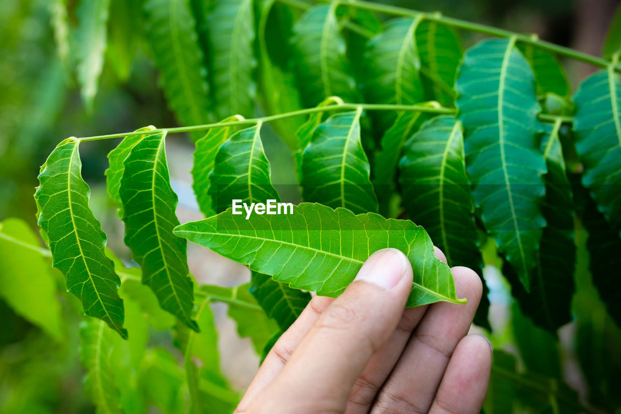 New top leaf of neem plant. azadirachta indica - a branch of neem tree leaves. natural medicine.